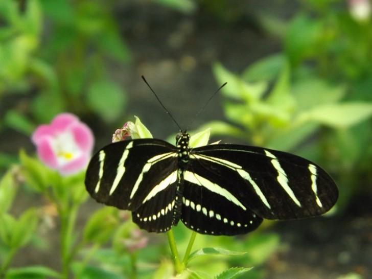 Butterfly , 5 Zebra Longwing Butterfly Facts : Zebra Longwing Butterfly Facts