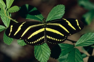 Zebra Longwing Butterfly Florida in Dog