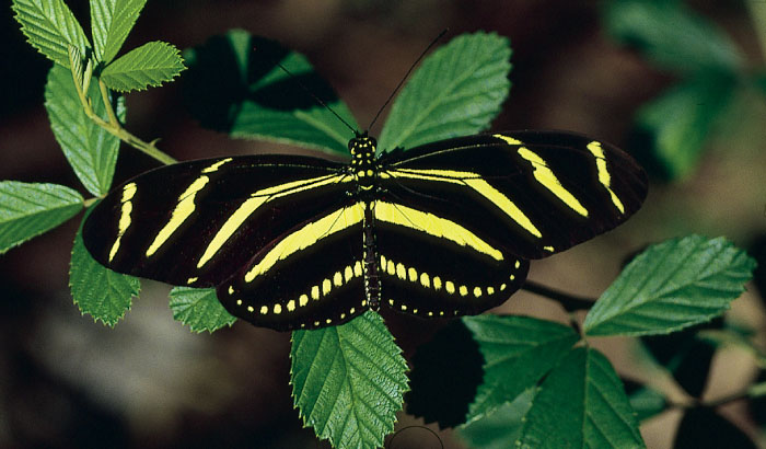 Zebra Longwing Butterfly Florida