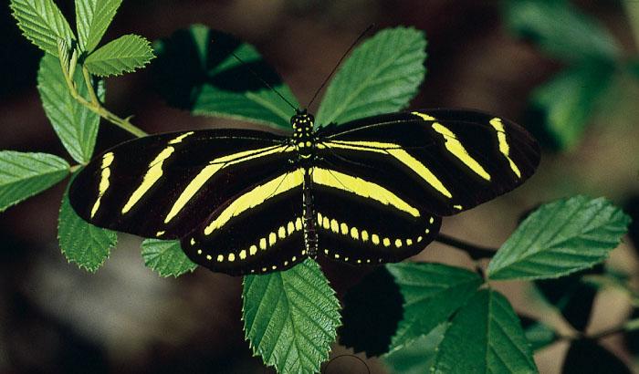 Butterfly , 5 Zebra Longwing Butterfly Facts : Zebra Longwing Butterfly Florida