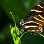 Zebra Longwing Butterfly Laying Eggs , 6 Zebra Longwing Butterfly Laying Eggs Photo In Butterfly Category