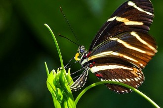 Zebra Longwing Butterfly Laying Eggs in Cat