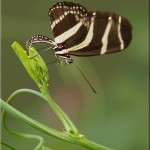 Zebra Longwing Butterfly Laying Eggs Capture , 6 Zebra Longwing Butterfly Laying Eggs Photo In Butterfly Category