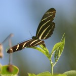 Zebra Longwing Butterfly Laying Eggs Photo , 6 Zebra Longwing Butterfly Laying Eggs Photo In Butterfly Category