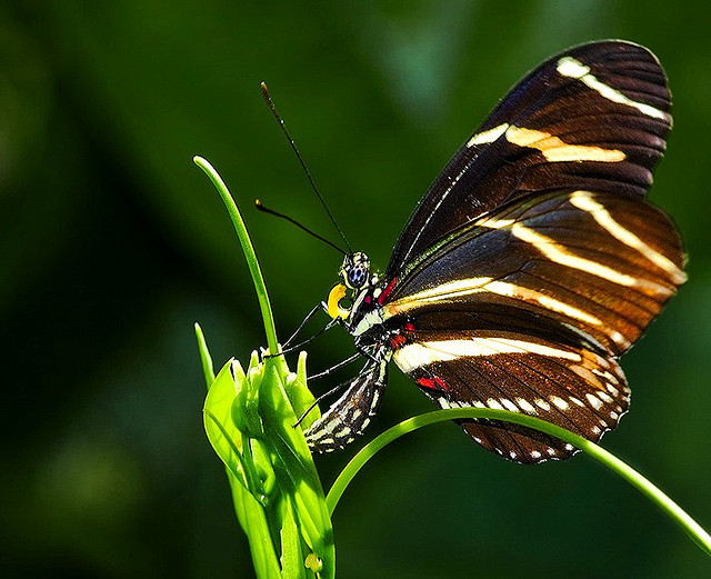 Zebra Longwing Butterfly Laying Eggs
