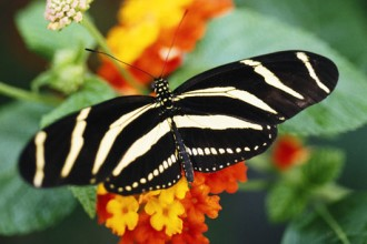 Zebra Longwing Butterfly Picture , 5 Zebra Longwing Butterfly Facts In Butterfly Category