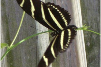 Zebra Longwing Butterfly Picture , 6 Zebra Longwing Butterfly Predators In Butterfly Category