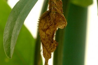 Zebra Longwing Chrysalis in Plants