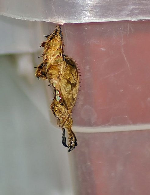 Butterfly , 7 Zebra Longwing Chrysalis : Zebra Longwing Chrysalis Photo