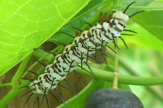 Zebra Longwing Larva On Corky Stem , 7 Zebra Longwing Butterfly Larvae In Butterfly Category