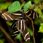 Zebra Longwing Mating Ritual , 8 Photos Of Zebra Longwing Butterfly Mating In Butterfly Category