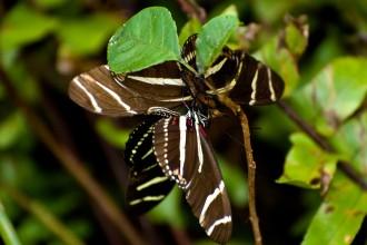 Zebra Longwing Mating Ritual , 8 Photos Of Zebra Longwing Butterfly Mating In Butterfly Category