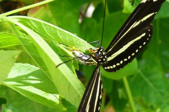 Zebra Longwing Ovipositing , 6 Zebra Longwing Butterfly Laying Eggs Photo In Butterfly Category
