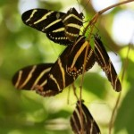 Zebra Longwing butterflies roosting , 6 Zebra Longwing Butterfly Predators In Butterfly Category