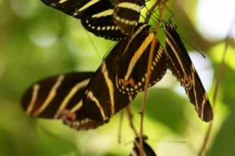 Zebra Longwing butterflies roosting in Spider