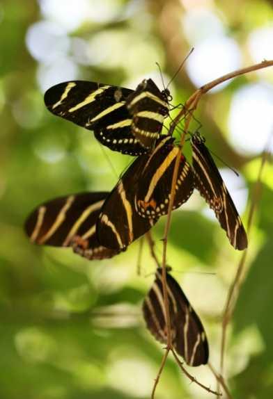 Butterfly , 6 Zebra Longwing Butterfly Predators : Zebra Longwing Butterflies Roosting