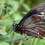 Zebra Longwing butterfly , 6 Zebra Longwing Butterfly Predators In Butterfly Category