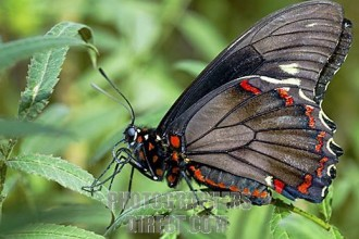 Zebra Longwing butterfly in Plants