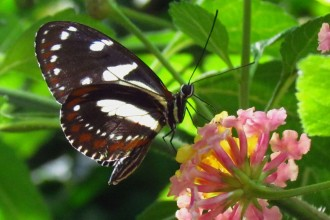 Zebra Longwing Butterfly Images , 5 Zebra Longwing Butterfly Facts In Butterfly Category