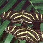 Zebra longwing , 6 Zebra Longwing Butterfly Predators In Butterfly Category