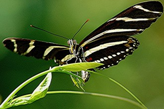 Zebra longwing is laying golden egg on the young leaves in Butterfly