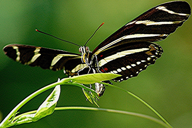Butterfly , 6 Zebra Longwing Butterfly Laying Eggs Photo : Zebra Longwing Is Laying Golden Egg On The Young Leaves