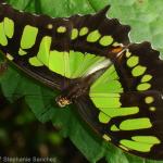 a Malachite Butterfly , 7 Malachite Butterfly Facts In Butterfly Category