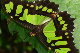 A Malachite Butterfly , 7 Malachite Butterfly Facts In Butterfly Category