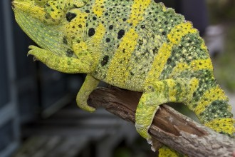 A Meller's Chameleon , 6 Mellers Chameleon Photos In Reptiles Category