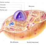 a animal cell diagram not all animal cell , 8 Picture Animals Do Not Have Cell Walls In Cell Category