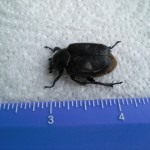 a beetle identification , 6 Beetle Bugs Identification In Bug Category