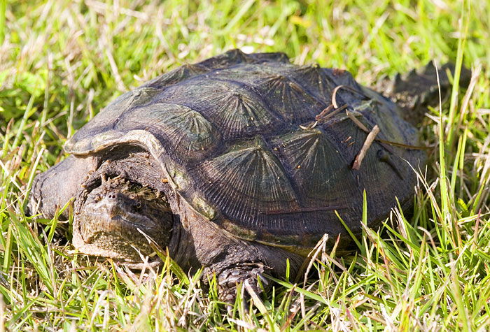Reptiles , 6 Alligator Snapping Turtle Facts : Alligator Snapping Turtle Facts