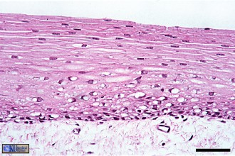anatomy histology in Mammalia