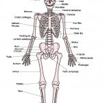 anterior skeleton worksheet , 6 Skeletal System With Labels In Skeleton Category