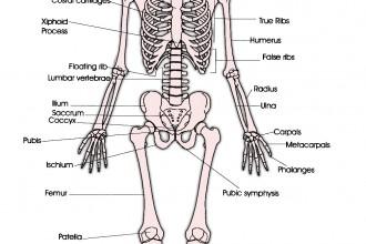 Anterior Skeleton Worksheet , 6 Skeletal System With Labels In Skeleton Category