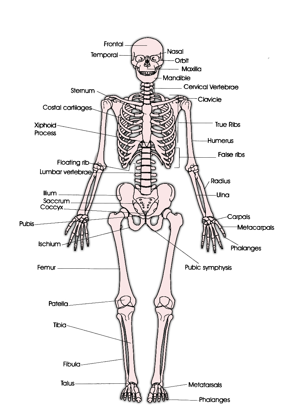 Anterior Skeleton Worksheet 6 Skeletal System With Labels – Skeletal System Diagram Worksheet