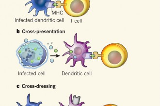 Antigen Presenting Cell Such As A Dendritic Cell , 5 Antigen Presenting Cells Diagrams In Cell Category