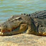 australian saltwater crocodile photo , 6 Saltwater Crocodile Facts In Reptiles Category