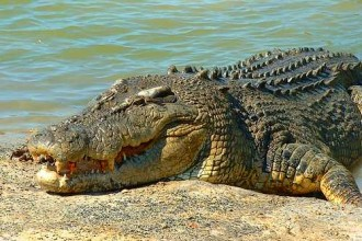 Australian Saltwater Crocodile Photo , 6 Saltwater Crocodile Facts In Reptiles Category