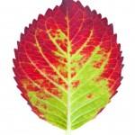autumn leaf , 6 Leaf Pigment Chromatography In Scientific data Category