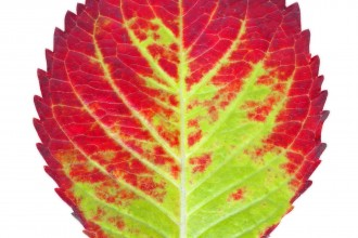 Autumn Leaf , 6 Leaf Pigment Chromatography In Scientific data Category
