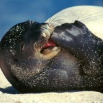 awaiian monk seal monachus schauin , 5 Hawaiian Monk Seal Facts In Mammalia Category