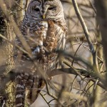 awesome barred owl facts , 6 Barred Owl Facts In Birds Category