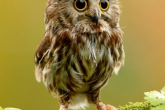 Baby Owl , 7 Owl Pictures In Birds Category