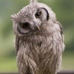 baby scops owl , 7 Owl Pictures In Birds Category