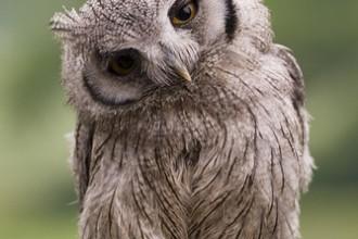 Baby Scops Owl , 7 Owl Pictures In Birds Category
