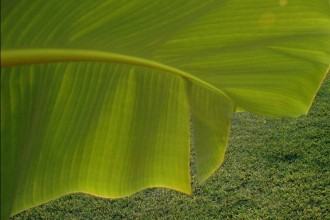 Banana Leaf Photo , 6 Banana Leaf San Diego In Plants Category