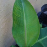 banana leaf san diego , 6 Banana Leaf San Diego In Plants Category