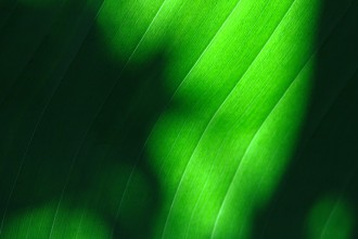 banana leaf san diego reviews in Plants