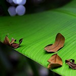 banana leaves , 6 Banana Leaf San Diego In Plants Category